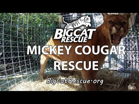 Mickey Cougar Gets Rescued