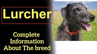 Lurcher. Pros and Cons, Price, How to choose, Facts, Care, History