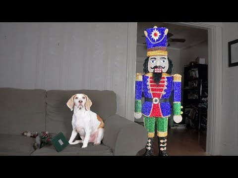 Dog Destroys Giant Nutcracker: Funny Dog Maymo