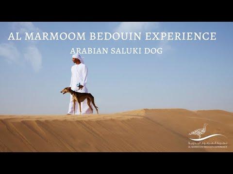 Al Marmoom Bedouin Experience - Arabian Saluki Dog