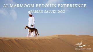 Al Marmoom Bedouin Experience  Arabian Saluki Dog