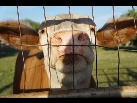 Happy Cow running to see his best friend