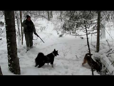 Вопрос: С собаками какой породы идут охотиться на кабана?