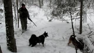 Рай для охотника, охота на кабана с собаками, шальной секач!