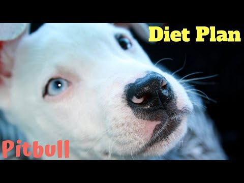 dog food plan pitbull | amazing facts in hindi  | Animal Channel Hindi