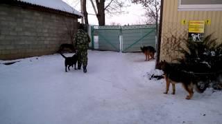 Толпа собак и работа умненькой девочки породы Лабрадор. Кличка