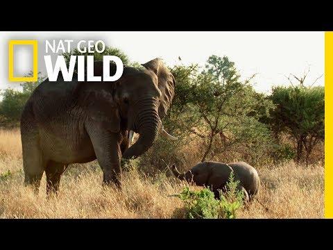 Elephant Family Bonds | Elephant: King of the Kalahari