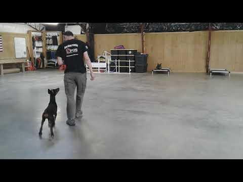 """Super Doberman Puppy """"Maya von Prufen"""" 4 1/2 Months Early Obedience W/BAB Participant"""
