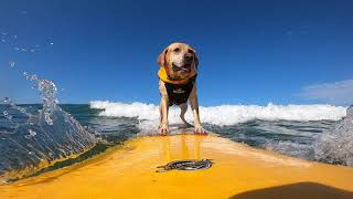 Charlie Surfing dog surf competition shreds the nar.