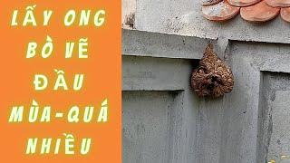 Bắt Ong Đầu Mùa 2021-Nhiều Nhưng Đang Còn Bé |  Rừng Xanh Bí Ẩn |
