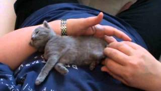 Russian Blue kitten loves to be tickled