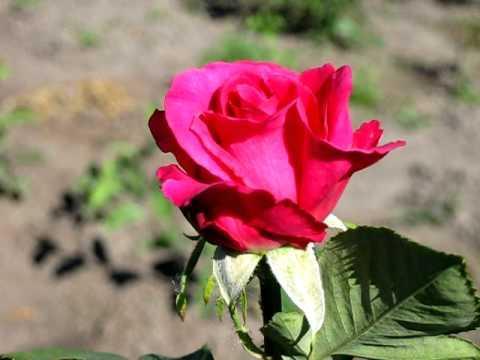 Роза Юрианда (Big Purple)