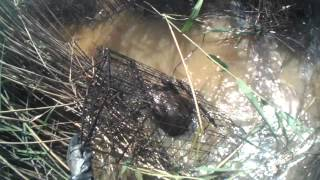 Beaver Trapping With Cage Traps