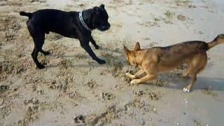 Il Mio Cane Igor Gioca In Spiaggia Con Un Cane Corso