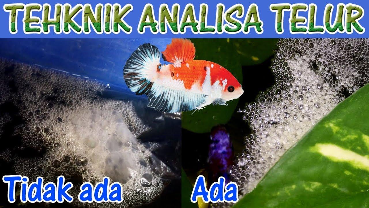 Perbedaan Busa Dan Telur Ikan Cupang Analisa Dasar Youtube