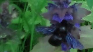 Гигантская фиолетовая пчела Шмель  Это реально. Плотник Ксилокопа.