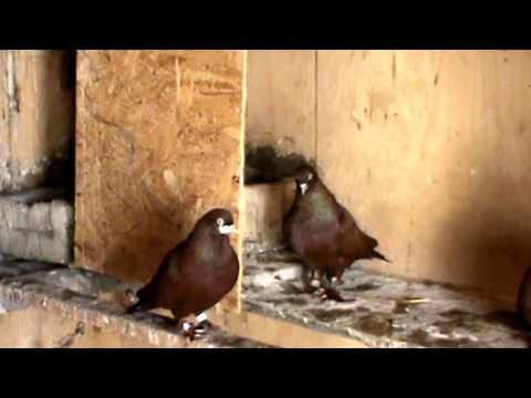 краснодарские бойные голуби видео