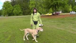 Dog Training: Distraction Training Great Dane Puppy At Parks, Recall, Heel, Sit, Stay