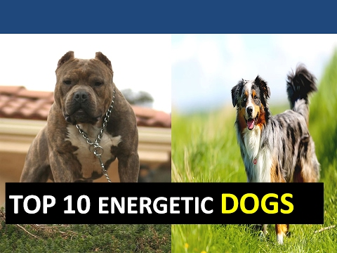 TOP 10 MOST ENERGETIC DOG BREEDS