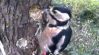 Woodpecker on Log Feeder