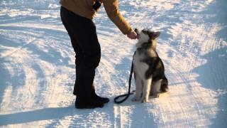 Дрессировка маламута http://dogclass.ru/