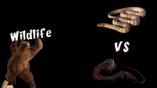 Giant Centipede Vs Snake   Wildlife