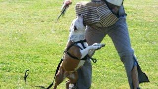 Питбуль - Лучший Телохранитель   Призвание Pitbull Protection Training K9