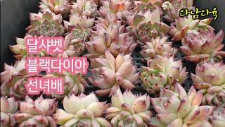 특집/달샤벳/블랙다이아/선녀배/택배가능   꽃나래다육식물010-2818-1441