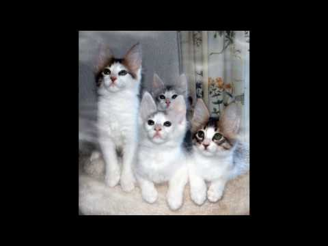 Turkish Angora Cat and Kittens | History of the Turkish Historical Breed