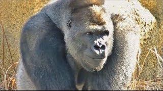 【大激怒】 ゴリラのケンカ part1 (オスが激怒する様子) / 東山動物園 【お父さんは怖い存在のようです】