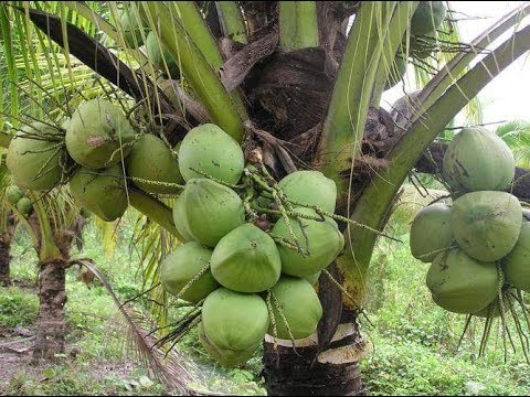 THE COCONUTS HARVEST IN THE FARM