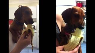 Puppy Dachshunds Eating Bananas