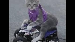 Гонка котенок против кошки и его хозяина