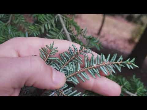 How to Identify Eastern Hemlock Trees