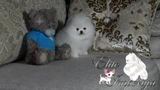 Белый померанский карликовый шпиц.  www.elitdog.com