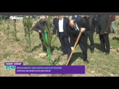 XƏZƏRXƏBƏR  Abşeronda 300 ədəd Eldar şamı əkilib 28 03 2018