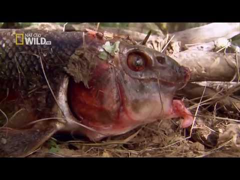 Top Documentary AnimalNational Geographic Documentary - American Bald Eagle - Wildlife Animal