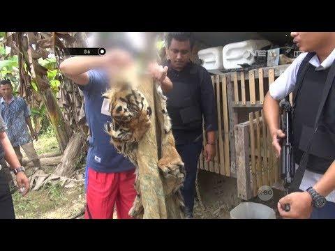 Tega Membunuh Harimau Sumatera Demi Mendapatkan Kulit & Tulang Harimau - 86
