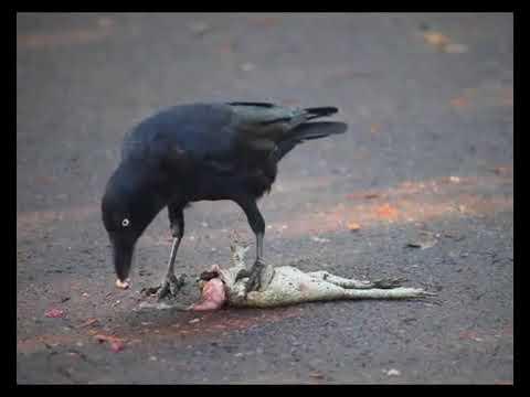 Black Crow Eating Meat