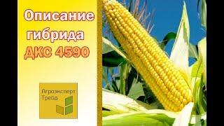 Кукуруза ДКС 4590  🌽 - описание гибрида 🌽, семена в Украине