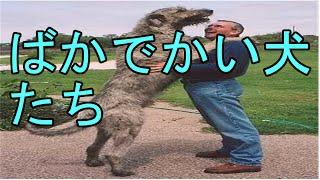 犬 ありえないほど恐ろしくでかい!犬たち 特集 世界の規格外の大きな犬...