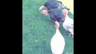 Talking with Turkeys  || ViralHog