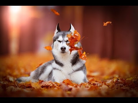 know about 'Siberian Husky' dog by DOGEXPERT