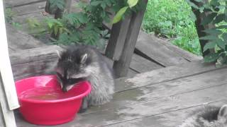 Baby raccoon cools down using backyard water bowl