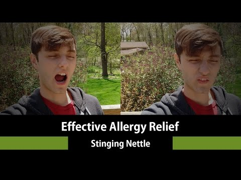 Stinging Nettle a Natural Remedy for Seasonal Allergies