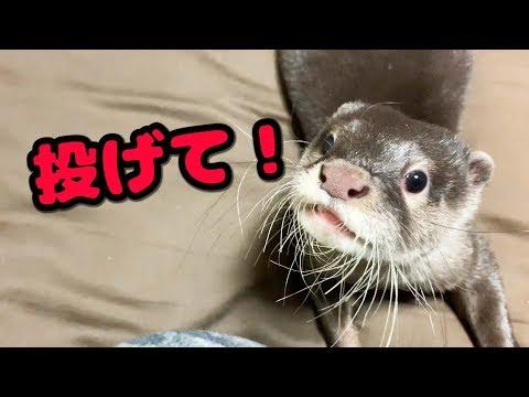 【コツメカワウソ】何度もスリッパを持ってくるカワウソ syamoji otter