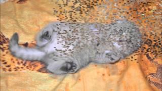 Вислоухая кошечка