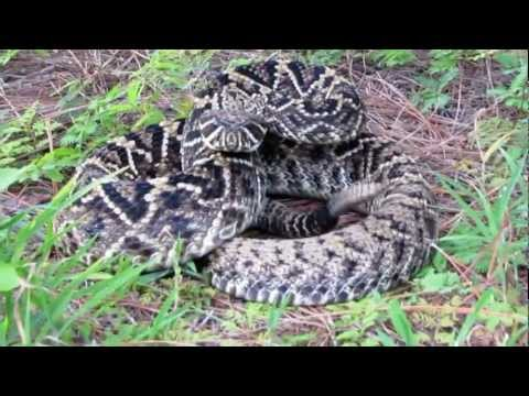 eastern diamondback rattlesnake 8 27 11
