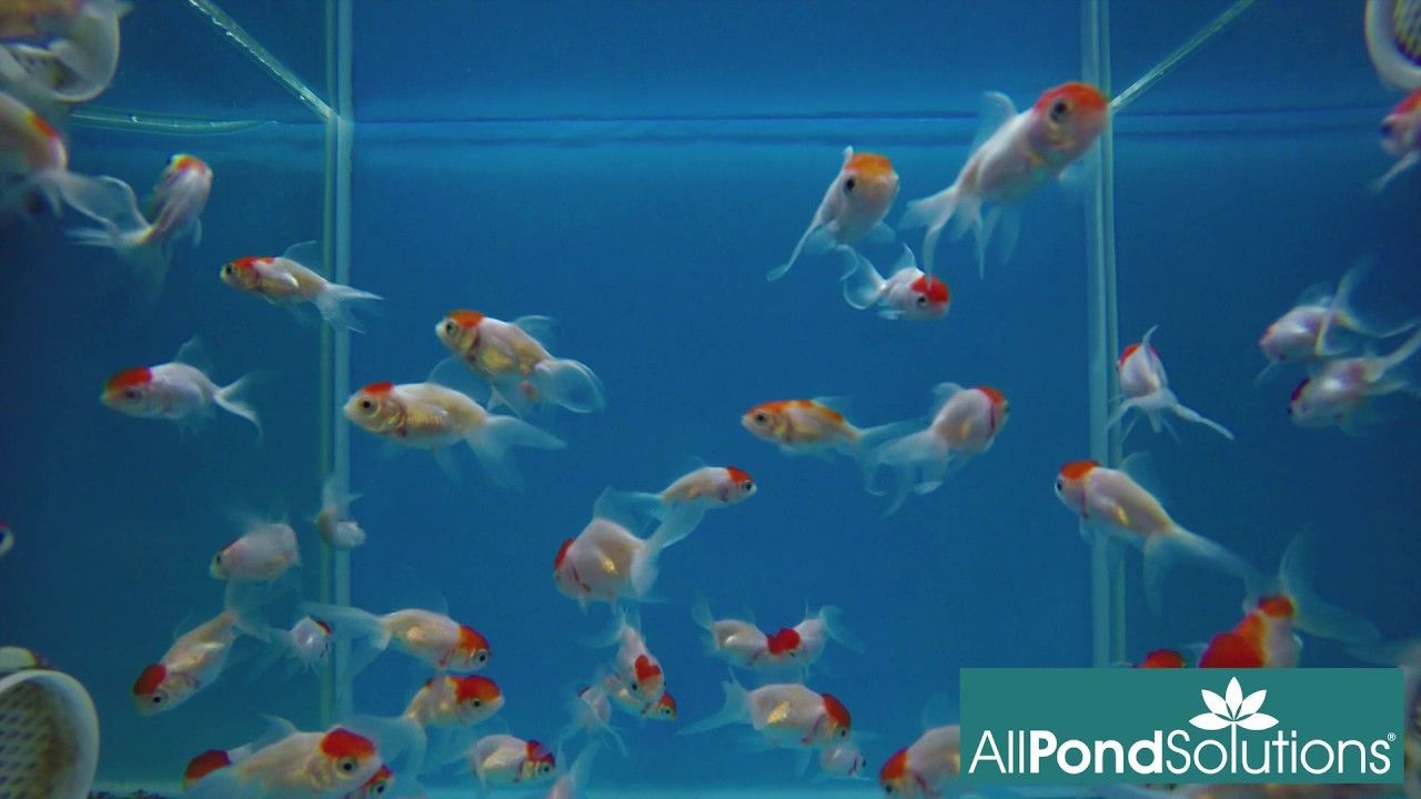 Red Cap Oranda For Sale at All Pond Solutions