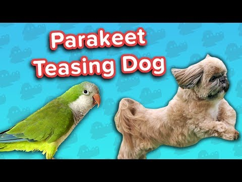 Parakeet Torments Dog & Guilty Goldens! // Funny Animal Compilation